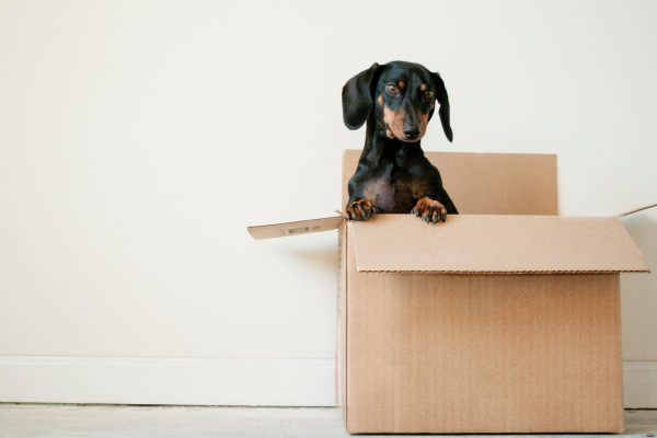 Dachshund in a packing case